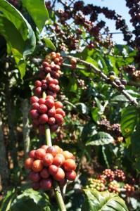 Kaffee_Rohstoffe