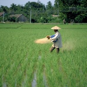 K+S_Asien_Reisbauer beim Düngen